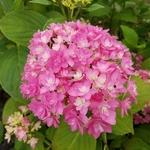 Hydrangea macrophylla Stellar (1)