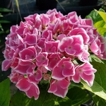 Hydrangea macrophylla Tandem (2)