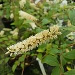 Itea japonica Beppu (1)