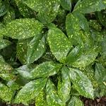 Aucuba japonica Crotonifolia (3)