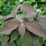 Hydrangea aspera Hot Chocolate (1)