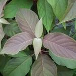 Hydrangea aspera Hot Chocolate (2)