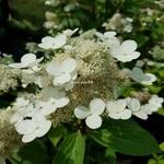Hydrangea paniculata Early Harry (2)
