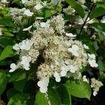 Hydrangea paniculata Early Harry (3)