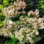 Hydrangea paniculata Polestar