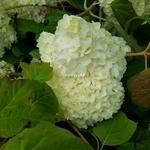 Hydrangea quercifolia Snowdrift (2)