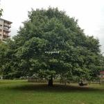 Quercus ilex (1)