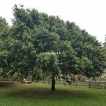 Quercus ilex (3)