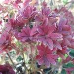 Hydrangea macrophylla Princess Diana (2)