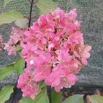 Hydrangea paniculata Diamant Rouge (1)