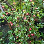 Cotoneaster damneri Frieders Evergreen