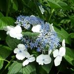 Hydrangea macrophylla Bachstelze