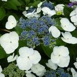 Hydrangea macrophylla Bachstelze (3)