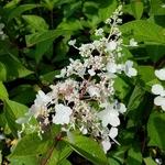 Hydrangea paniculata Pinky Winky (1)