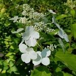 Hydrangea paniculata Levana (2)