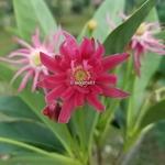 Illicium Woodland Ruby (3)
