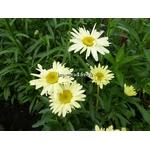 leucanthemum%20broadway%20lights%20(2)