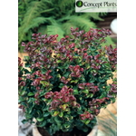 l_leucothoe%20curly%20red