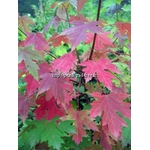 acer-freemanii-celebration-(1)