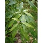 quercus%20myrsinifolia