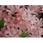 rhododendron%20iroha%20yama
