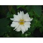 anemone%20whirlwind%20(1)