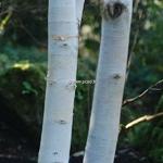 Betula utilis jacquemontii