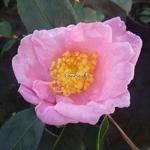 Camellia sasanqua Misty Moon (2)