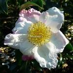 Camellia sasanqua Ondee (1)