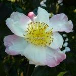 Camellia sasanqua Ondee (3)