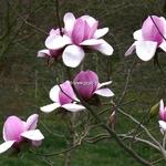Magnolia Atlas (1)