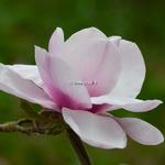 Magnolia Atlas (2)