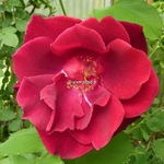 Rosa Guinee (1)
