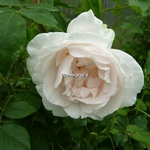 Rosa Mme Alfred Carriere (1)