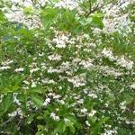 Styrax japonicus (6)