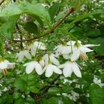 Styrax japonicus (5)