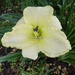 Hemerocallis Wedding Band (2)