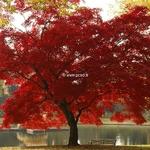 Acer palmatum (1)