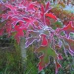Quercus palustris (2)