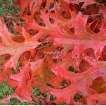 Quercus palustris (1)