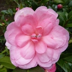 Camellia williamsii Waterlily (4)