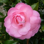 Camellia williamsii Waterlily (3)