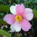 Camellia sasanqua Yume (1)