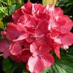 Hydrangea macrophylla Baroque Angel