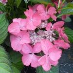 Hydrangea macrophylla Dark Angel (2)