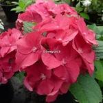 Hydrangea macrophylla Hot Red (2)