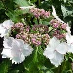 Hydrangea macrophylla Jean Varnier