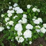 Hydrangea macrophylla Nymphe (4)