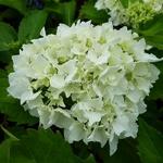 Hydrangea macrophylla Nymphe (2)