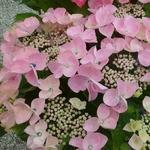 Hydrangea macrophylla Beijing